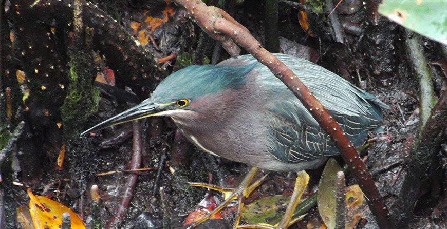 Image of wildlife see on the kayak trail tour at Tarpon Bay Explorers