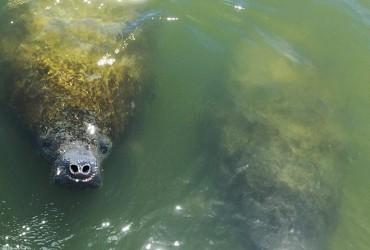 Image of a manatee spotted near Tarpon Bay Explorers