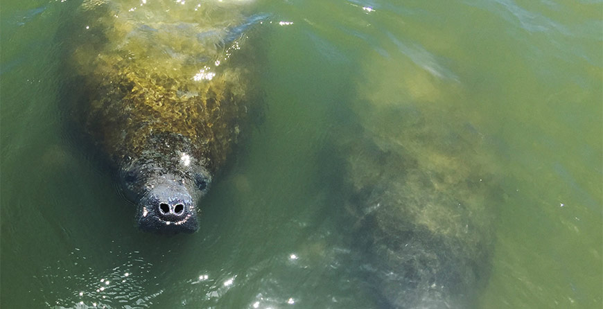 Image of a manatee spotted near Tarpon Bay Explorers