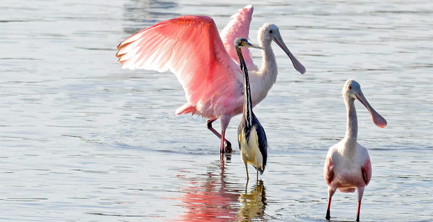 Image of birds seen near in Tarpon Bay