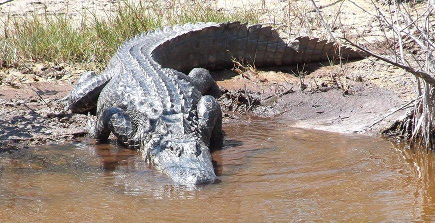 Image of an alligator seen near in Tarpon Bay